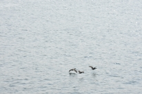 Birds flying over the water during the ferry ride from Friday Harbor to Anacortes.