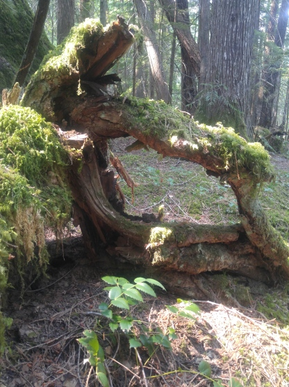 Tree root along the Happy Panther Trail in the Ross Lake National Recreation Area.