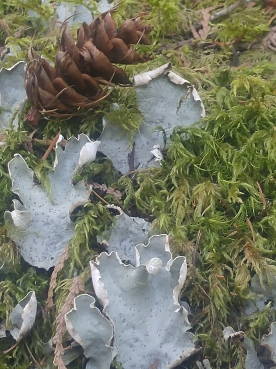 Lichen and pine cone along the Happy Panther Trail in the Ross Lake National Recreation Area