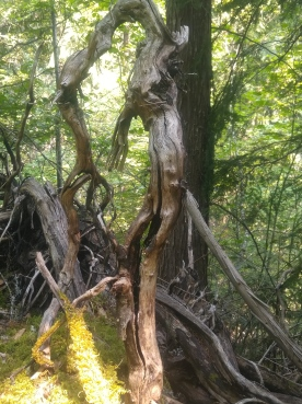 Bent Tree along the Happy Panther Trail in the Ross Lake National Recreation Area