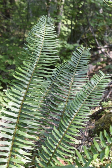 Fern along the Happy Panther Trail in the Ross Lake National Recreation Area.