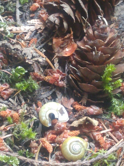 Snail shells and pine cones along the Happy Panther Trail in Ross Lake National Recreation Area