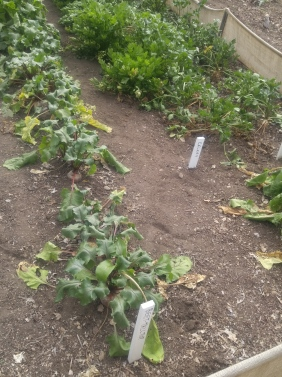 Beets and Celery in the Garden at the Fort Vancouver National Historic Site.