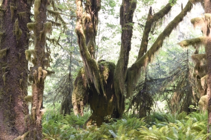 Moss covered tree. Olympic National Park - Hoh Rain Forest.
