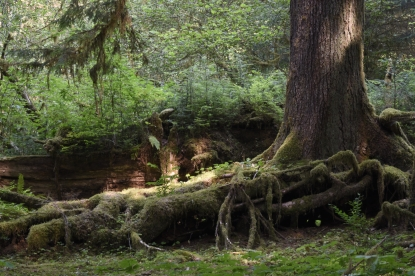 Moss covered Red Cedar. Olympic National Park - Hoh Rain Forest.
