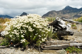 Wildflowers thriving amongst downed logs. Mount Saint Helens National Volcanic Monument.