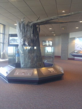 Tree downed by 1980 eruption in Johnston Ridge Observatory. Mount Saint Helens National Volcanic Monument.
