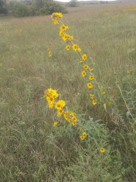 Maximilian Sunflowers in the Tallgrass. Tallgrass Prairie National Preserve.