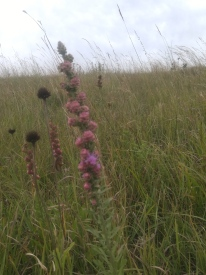 Wooley Verbena at the Tallgrass Prairie National Preserve.