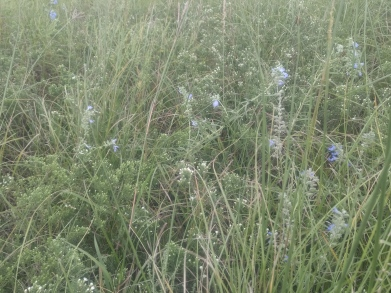 Heath Aster and Blue Sage amongst the Big Bluestem at the Tallgrass Prairie National Preserve.