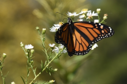 Monarch butterfly at the Great Marsh. Indiana Dunes National Lakeshore.
