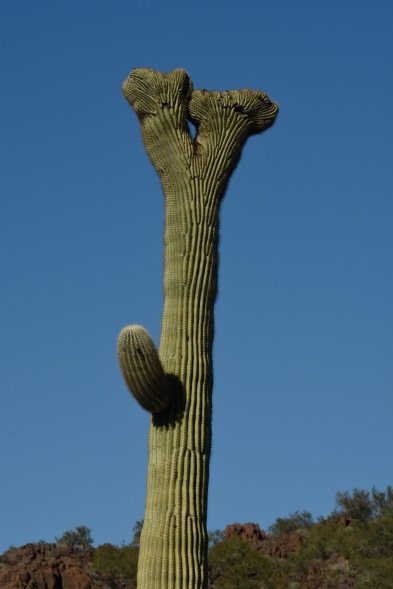 Crestate Saguaro in the Organ Pipe Cactus National Monument.