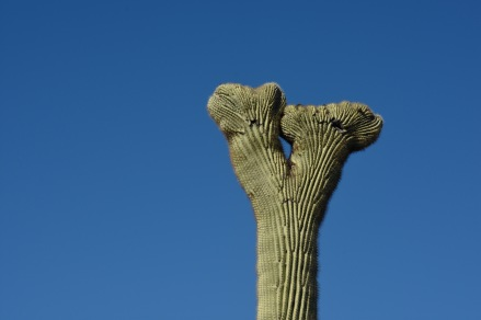 Closeup of Crestate Saguaro in the Organ Pipe Cactus National Monument.