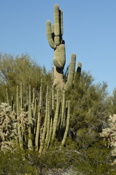 Organ Pipe and Saguaro in the Organ Pipe Cactus National Monument.