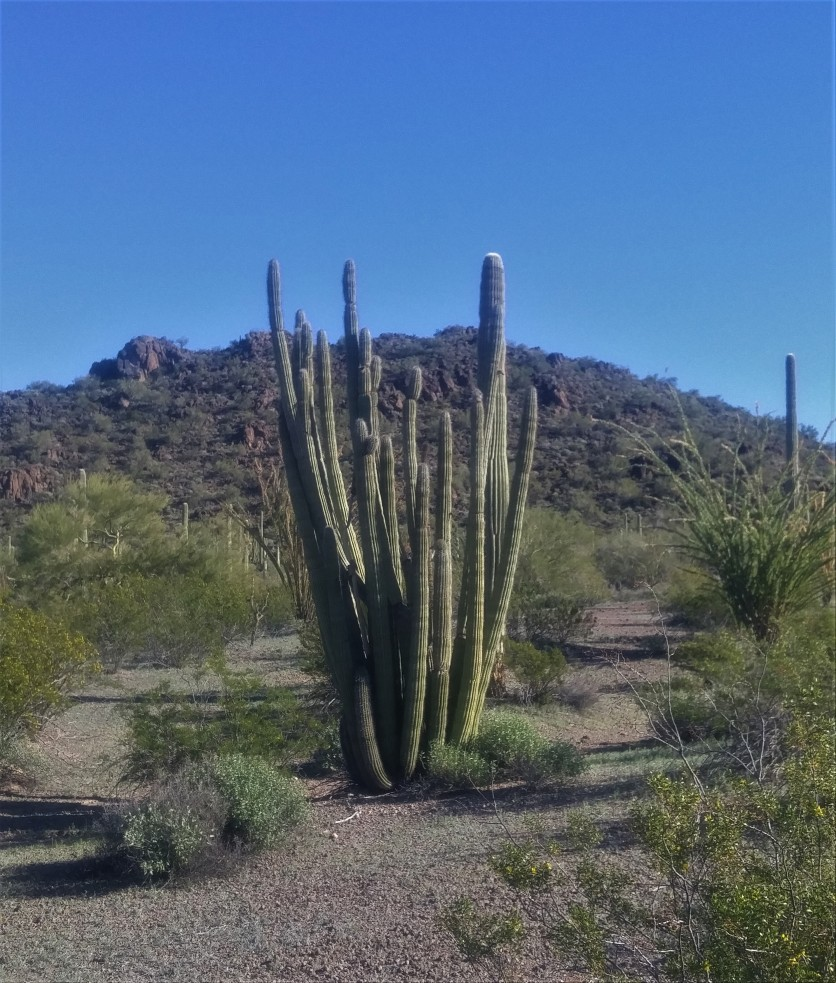 Organ Pipe Cactus in the Organ Pipe Cactus National Monument.