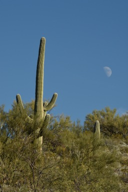 Saguaro with moon in Saguaro National Park.