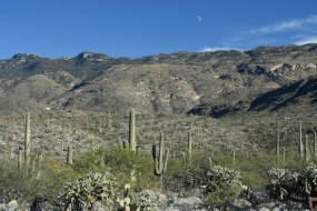 Saguaro forest in the Saguaro National Park. Prickly Pear and Hanging Chain Cholla are in the foreground.