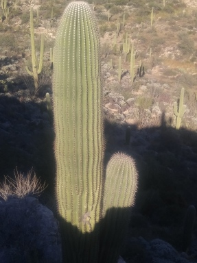 Saguaro Cactus in the Saguaro National Park.