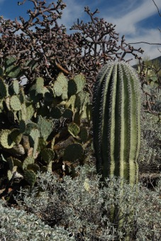 A young Saguaro, Prickly Pear, and Staghorn Cholla.