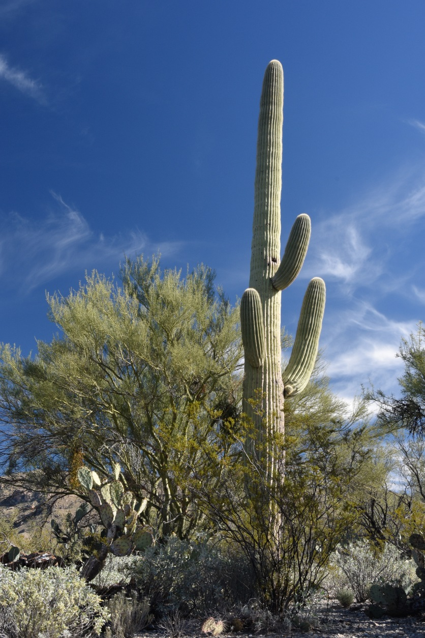 Saguaro, probably about 100-200 years old, with its Creosote nurse tree.