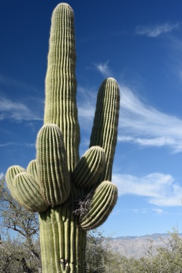 A Saguaro with a bird's nest (lower right arm) in the Saguaro National Park.