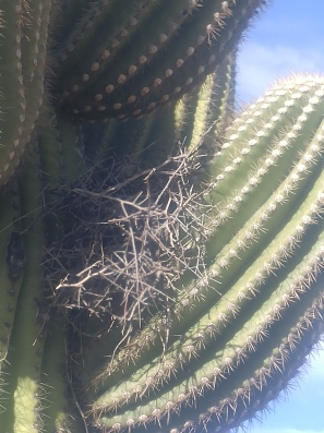 Closeup of the bird's nest on a Saguaro in the Saguaro National Park.