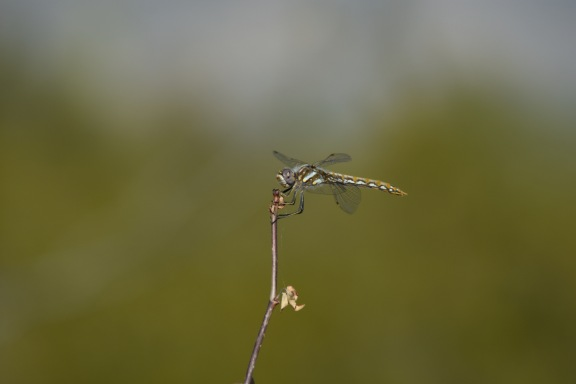 Dragonfly in Saguaro National Park.