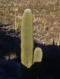 Saguaro forest in the Sonoran Desert.