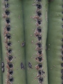 Closeup of a Saguaro Cactus ribs