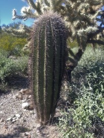 About 30-40 year old (3 feet tall) Saguaro Cactus next to a Teddy Bear Cholla.