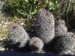 Small pincushion type of cactus called the Arizona Fishhook Cactus.