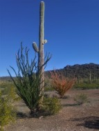 Two Ocotillos showing the different stages.