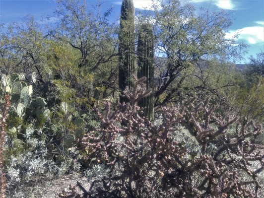 Variety of plants. Staghorn Cholla in the foreground. Prickly Pear on the left. Creosote between the Prickly Pear and Saguaro Cactus (kinda yellowish). Mesquite behind the Saguaro.